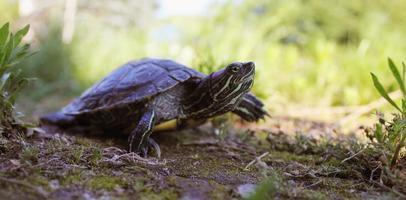 sköldpadda i gräset foto