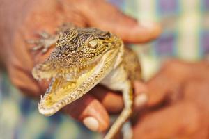 baby krokodil foto