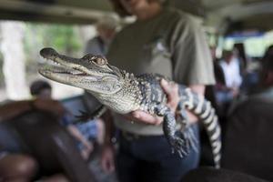 baby alligator säger hej. foto