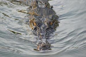 tittar på krokodil foto