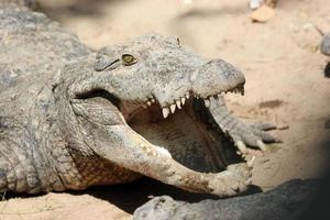 krokodil med munnen öppen foto