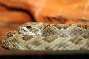 crotalus viridis närbild foto