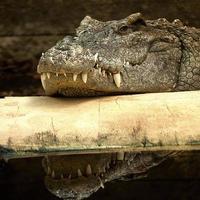 krokodilbaskning foto
