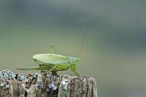 stor grön busk-cricket specie tettigonia viridissima, Frankrike