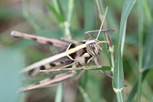 makro av brun gräshoppa uppflugna på blad.