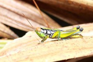 gräshoppa i naturen