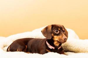 blandad hund som kopplar av på sängen hemma foto