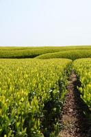 grön te trädgård foto