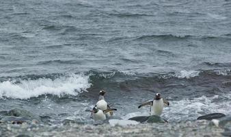 gentoo pingviner som anländer från havet foto