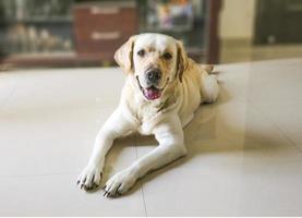 labrador retriever hund som sover på golvet på nära håll foto