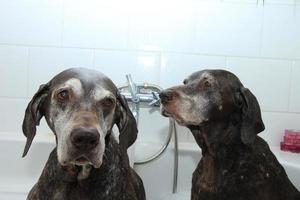 tvätta hundar foto