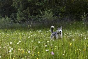 huskies på fältet foto