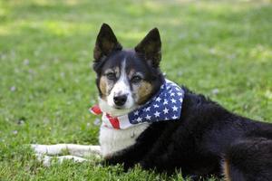 amerikansk stolthet - hund med flaggan bandanna foto