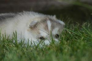 porträtt av en liten husky hundvalp. foto