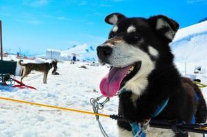 husky dog framför musher camp foto