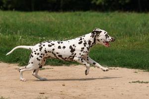 dalmatian i gräs foto