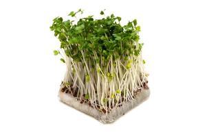 broccoli groddar-brassica oleracea foto