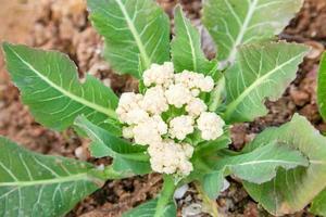 blomkål foto