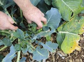 grön broccoli som växer i organisk trädgård. foto