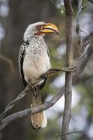 södra gulfakturerade hornbill i Kruger nationalpark