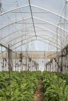 aubergine i växthus foto