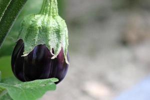 aubergine växer i hemträdgården