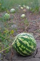 mogna vattenmeloner