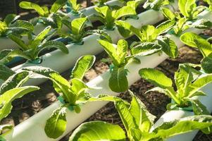 grön organisk, odling hydroponics grönsak i gården foto