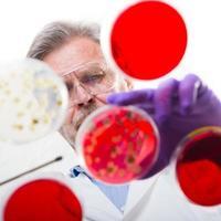 senior life science forskare ympning bakterier. foto