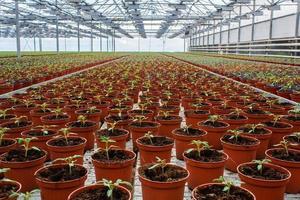 krukväxtsallad som växer i växthus foto