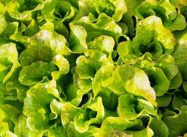 bakgrund av färska blad sallad gröna i trädgården foto