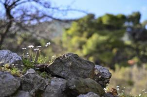 vit kamomill och stenar foto