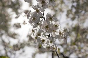 blommande träd foto