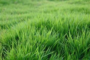 gräs foto