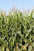 stjälkar av majs som växer i ett fält foto