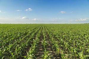 växande majsfält, grönt jordbrukslandskap foto