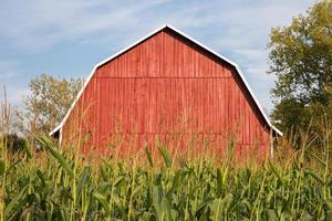 röd ladugård bakom hög majs foto