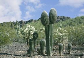 Arizona öken saguaros foto
