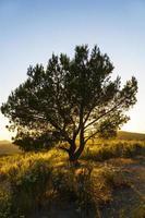 ensamt träd i solnedgången foto