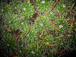 ökenkaktus med bruna fröskidor och bladabstrakt foto