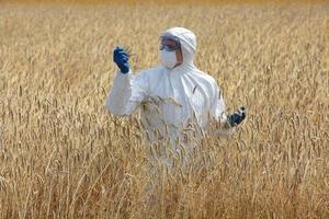 jordbruksingenjör på fältet undersöker mogna öron på säd foto