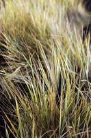 torrt gräs foto