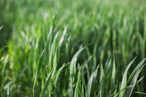 grönt gräs foto