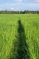 gröna risfält foto