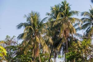 kokosnötspalm foto
