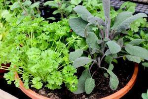 tillväxt ört i potten foto