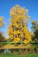två hösten asp träd i parken. foto