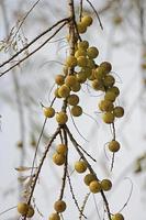 amla, emblica officinalis, indiska krusbär foto