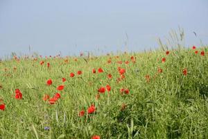 lantligt landskap - röda vallmo foto