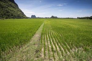 bakgrund för risfält grönt landskap foto